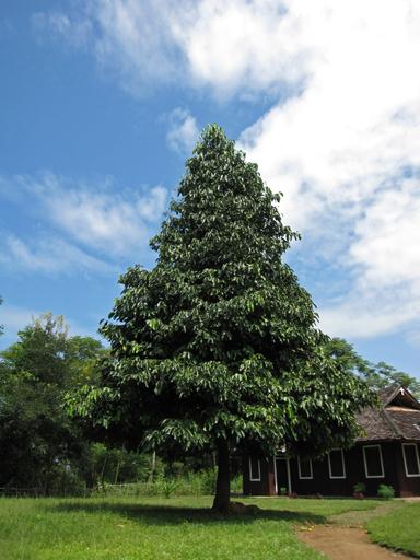 キヤニモモの木