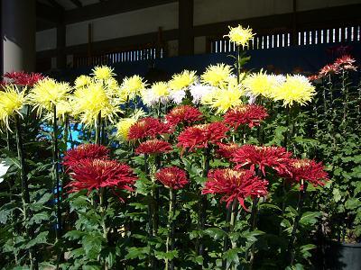 菊の画像 p1_20