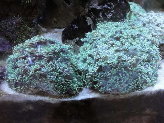 海水魚・サンゴ_f0189122_15181577.jpg