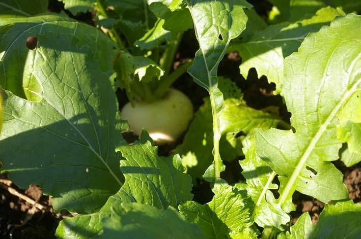 ダイコン、コカブ、ホウレンソウを今秋初収穫(11・4)_c0014967_2334657.jpg