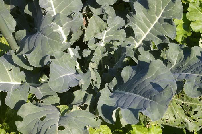 ダイコン、コカブ、ホウレンソウを今秋初収穫(11・4)_c0014967_23363333.jpg