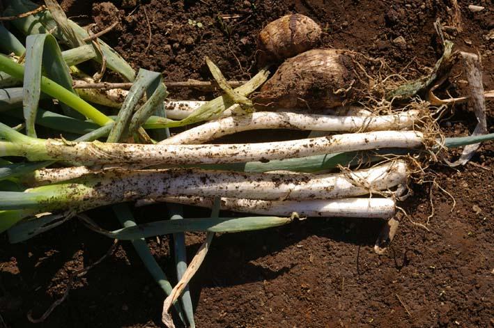ダイコン、コカブ、ホウレンソウを今秋初収穫(11・4)_c0014967_23411038.jpg
