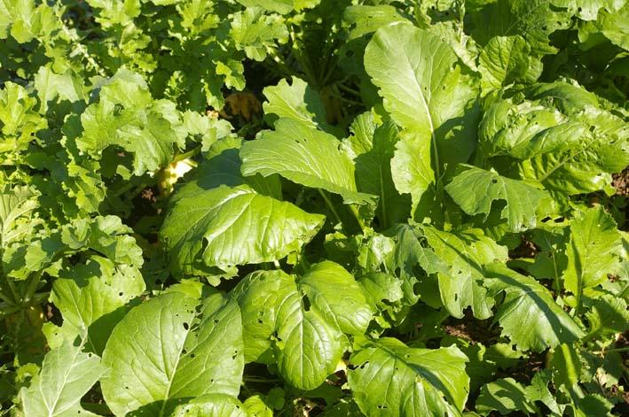 ダイコン、コカブ、ホウレンソウを今秋初収穫(11・4)_c0014967_23425376.jpg