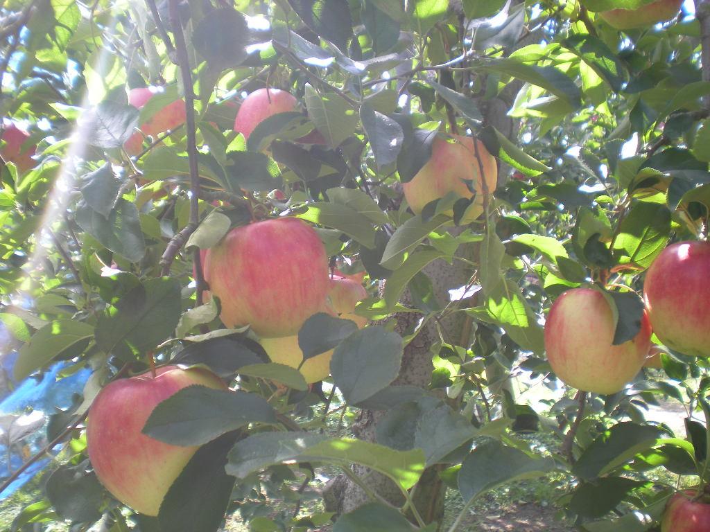 りんご天国!!!_a0125419_22315251.jpg