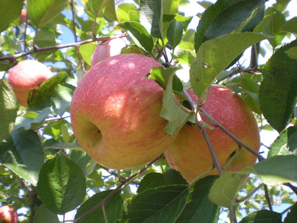 りんご天国!!!_a0125419_2241879.jpg
