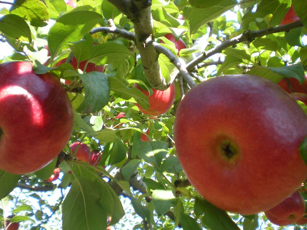 りんご天国!!!_a0125419_22435192.jpg