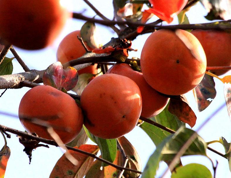 隣の客(ジィジ)はよく柿食う客(ジィジ)だ(笑)_a0107574_8334241.jpg