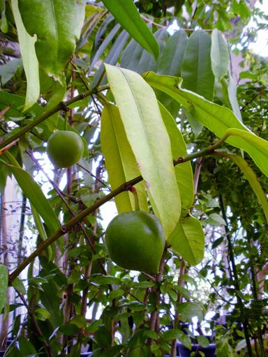 結実中の鉢植えキヤニモモ@夢の島熱帯植物館