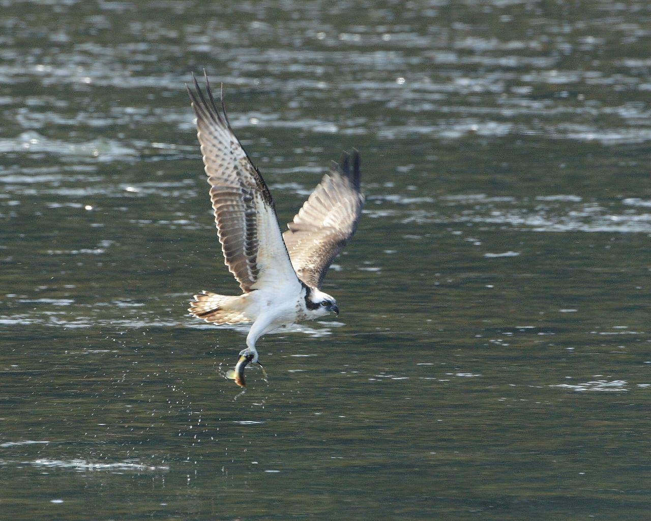 ミサゴの豪快なダイブと漁_f0105570_16281187.jpg