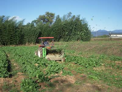 中津川でちこり芋の収穫_d0063218_1025733.jpg