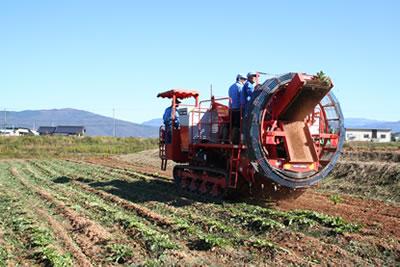 中津川でちこり芋の収穫_d0063218_10262599.jpg