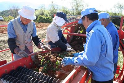 中津川でちこり芋の収穫_d0063218_10311962.jpg