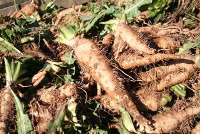 中津川でちこり芋の収穫_d0063218_1045939.jpg
