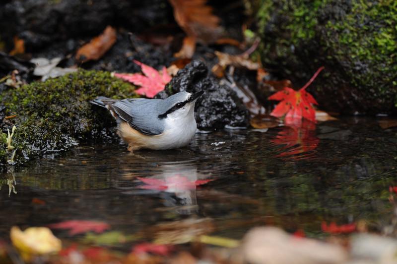 山の泉にて混群の野鳥たち_d0099854_18373013.jpg