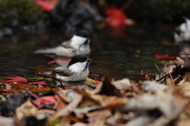 山の泉にて混群の野鳥たち_d0099854_18411993.jpg