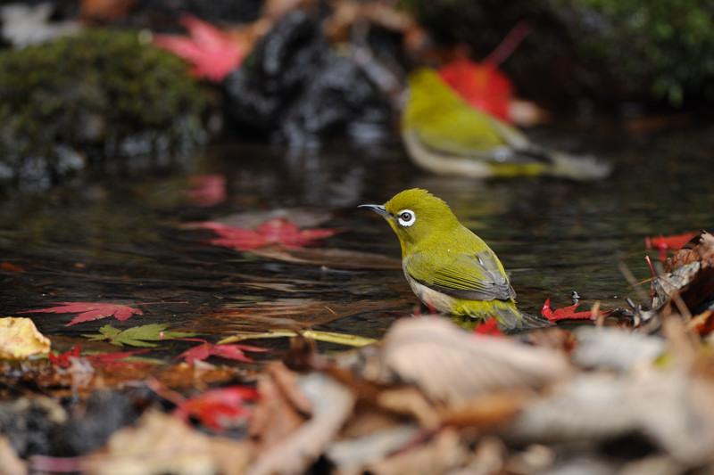 山の泉にて混群の野鳥たち_d0099854_18424820.jpg