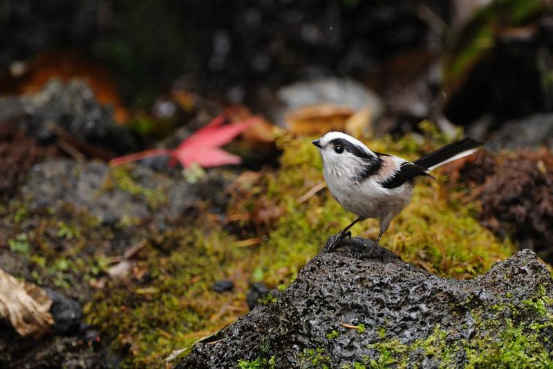 山の泉にて混群の野鳥たち_d0099854_18462617.jpg
