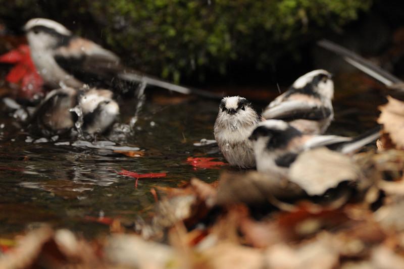 山の泉にて混群の野鳥たち_d0099854_1847351.jpg
