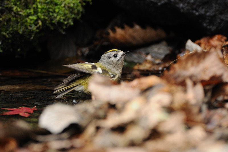 山の泉にて混群の野鳥たち_d0099854_1849118.jpg