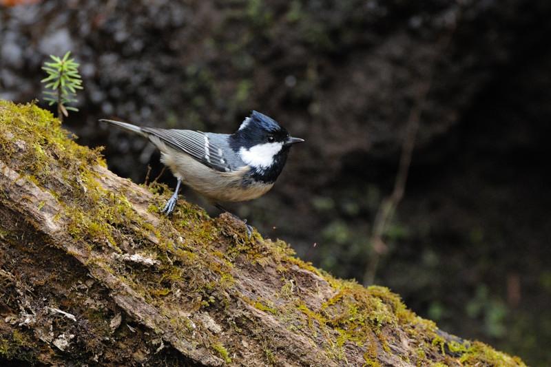 山の泉にて混群の野鳥たち_d0099854_18515947.jpg