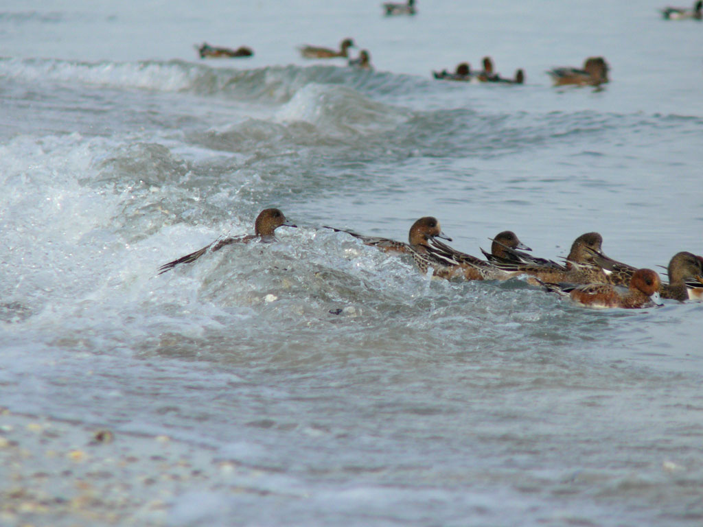 打ち寄せる波に乗って海草を拾う ヒドリガモ_e0088233_2157285.jpg