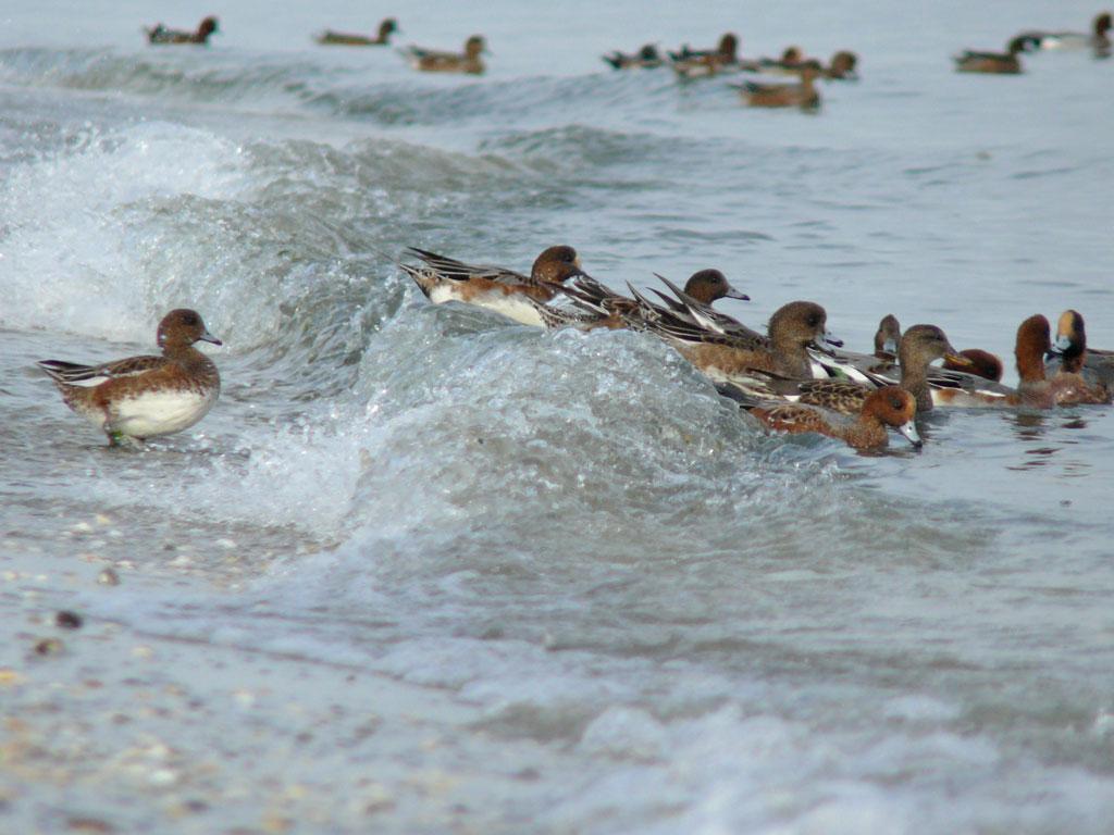打ち寄せる波に乗って海草を拾う ヒドリガモ_e0088233_2157454.jpg
