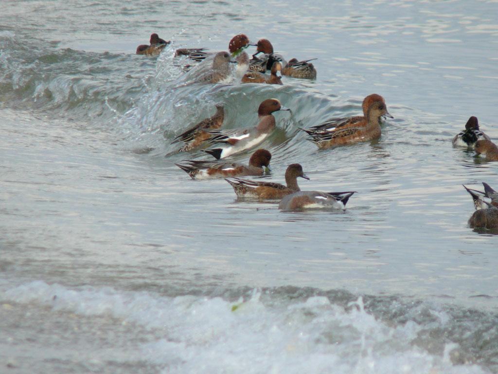 打ち寄せる波に乗って海草を拾う ヒドリガモ_e0088233_21585550.jpg