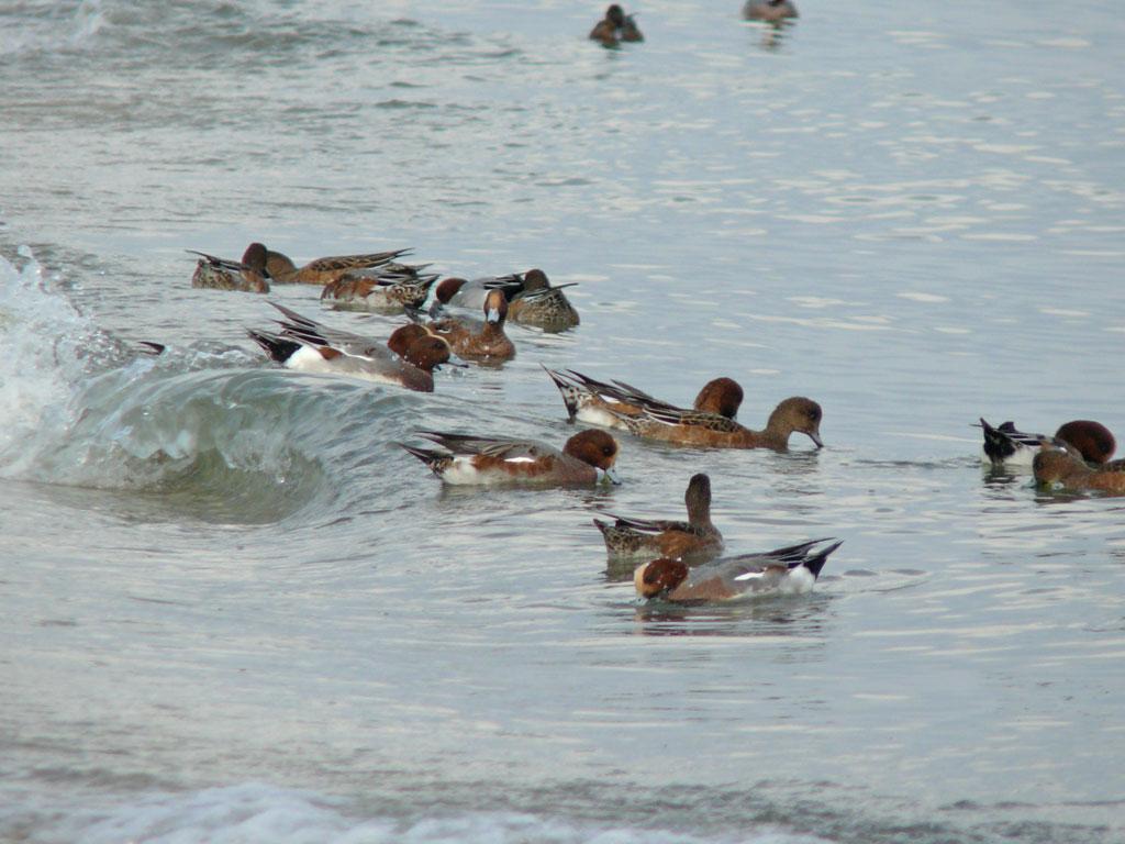 打ち寄せる波に乗って海草を拾う ヒドリガモ_e0088233_21591684.jpg