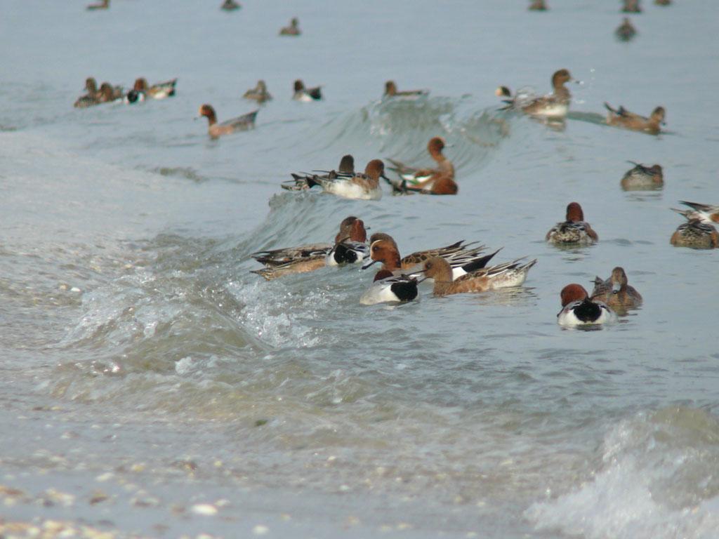 打ち寄せる波に乗って海草を拾う ヒドリガモ_e0088233_21593753.jpg