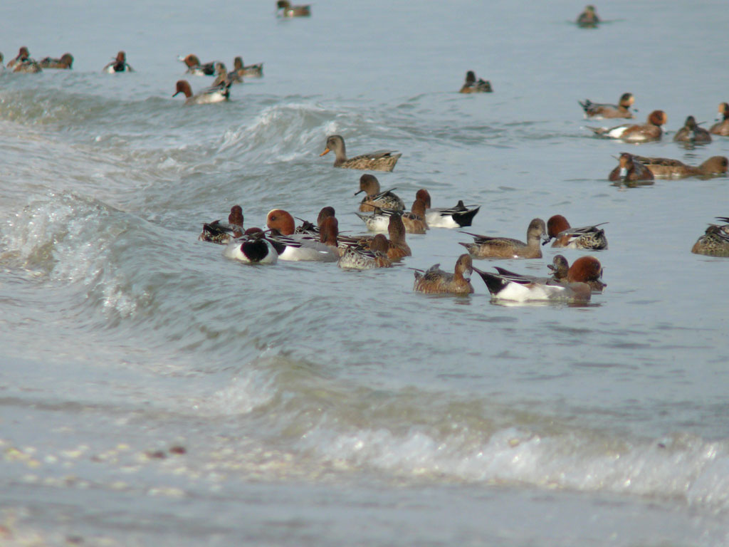 打ち寄せる波に乗って海草を拾う ヒドリガモ_e0088233_221015.jpg