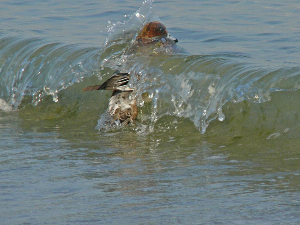 打ち寄せる波に乗って海草を拾う ヒドリガモ_e0088233_222327.jpg