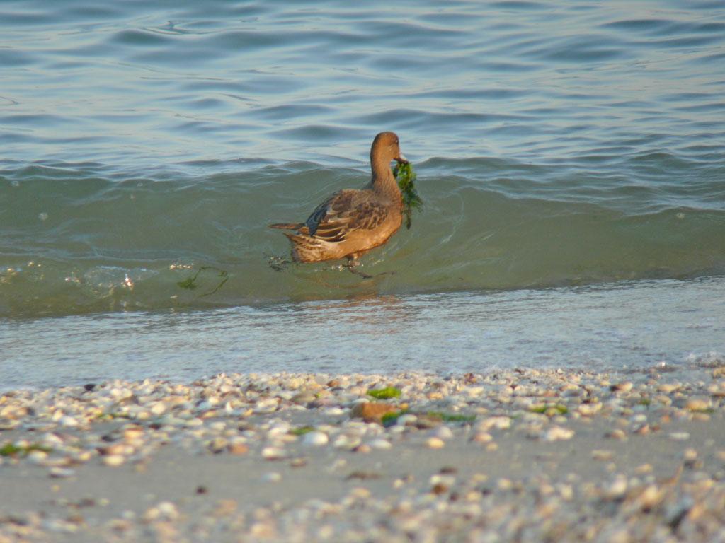 打ち寄せる波に乗って海草を拾う ヒドリガモ_e0088233_222527.jpg