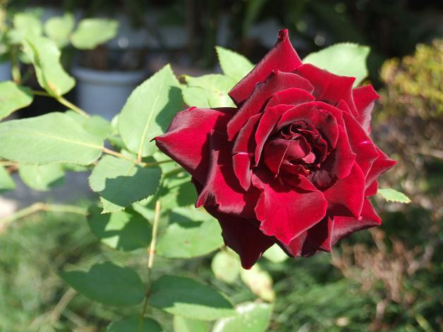 薔薇の水彩画_b0089338_236272.jpg