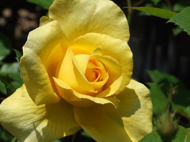 薔薇の水彩画_b0089338_2364459.jpg