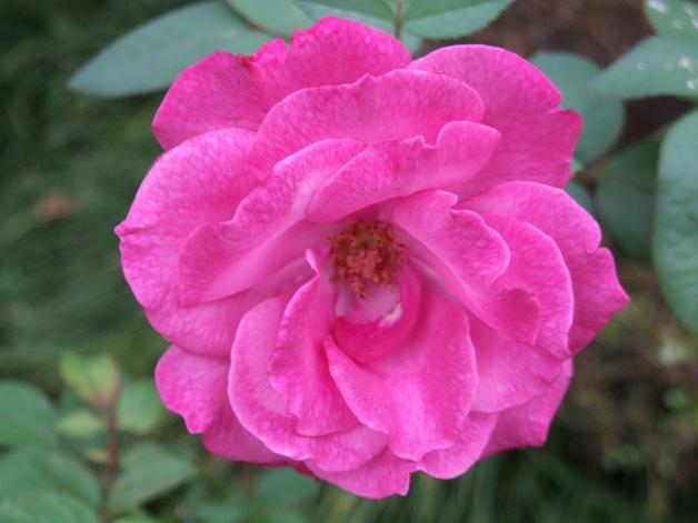 薔薇の水彩画_b0089338_2364978.jpg