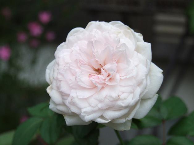 薔薇の水彩画_b0089338_2365758.jpg