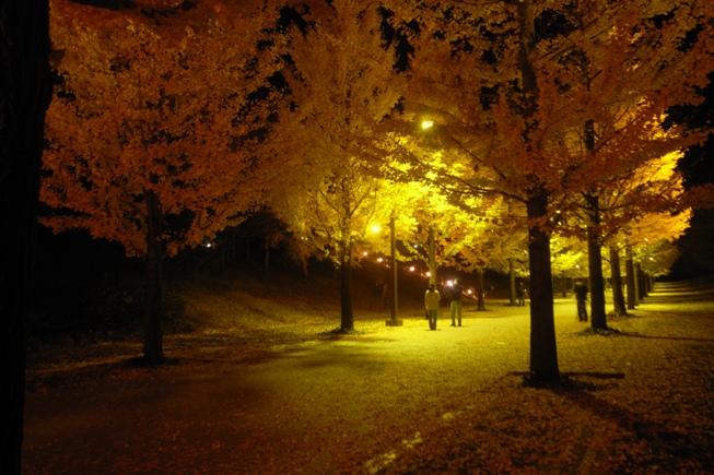 イチョウ並木のライトアップ@あづま総合運動公園。_c0141989_0595338.jpg