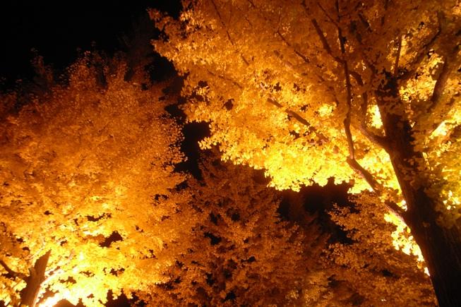 イチョウ並木のライトアップ@あづま総合運動公園。_c0141989_10568.jpg