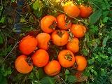 秋です! 畑の実りです!_a0130305_17584963.jpg