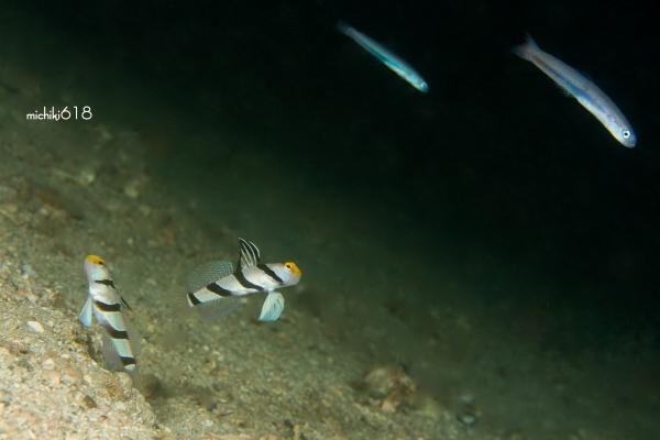 2×2     ネジリンボウ ペア × ハナハゼ 幼魚 ペア_e0112813_14585961.jpg