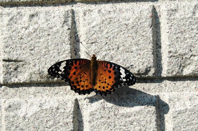 2009年11月の想い出の蝶_e0194952_14593596.jpg