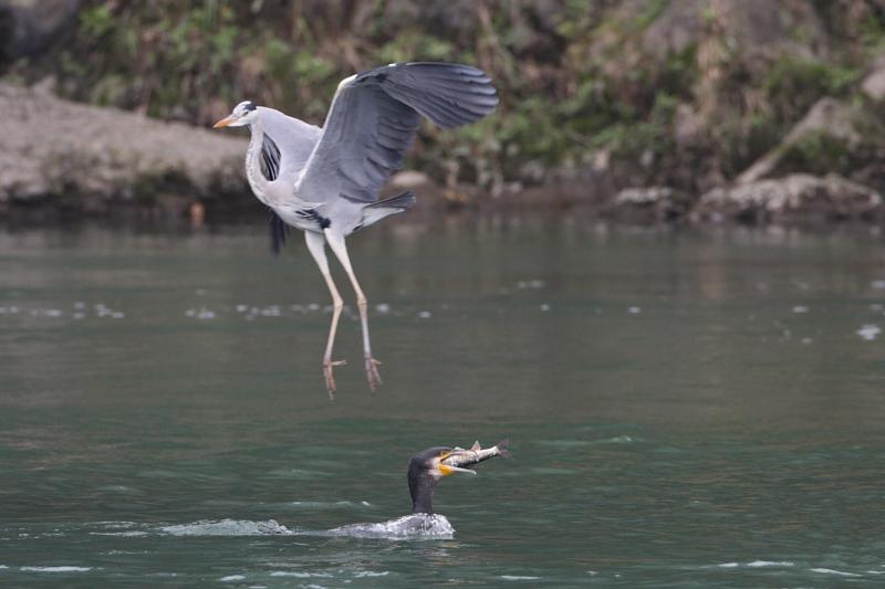 鮎漁の鳥たち_a0052080_21144662.jpg