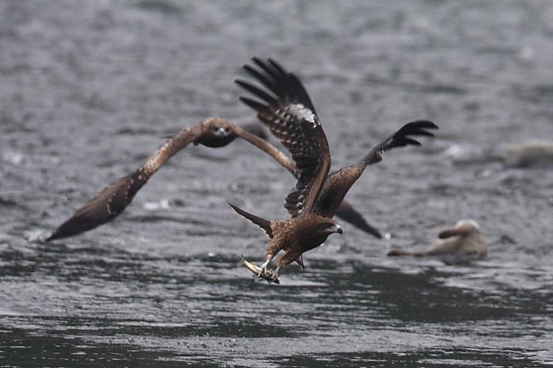 鮎漁の鳥たち_a0052080_21151612.jpg