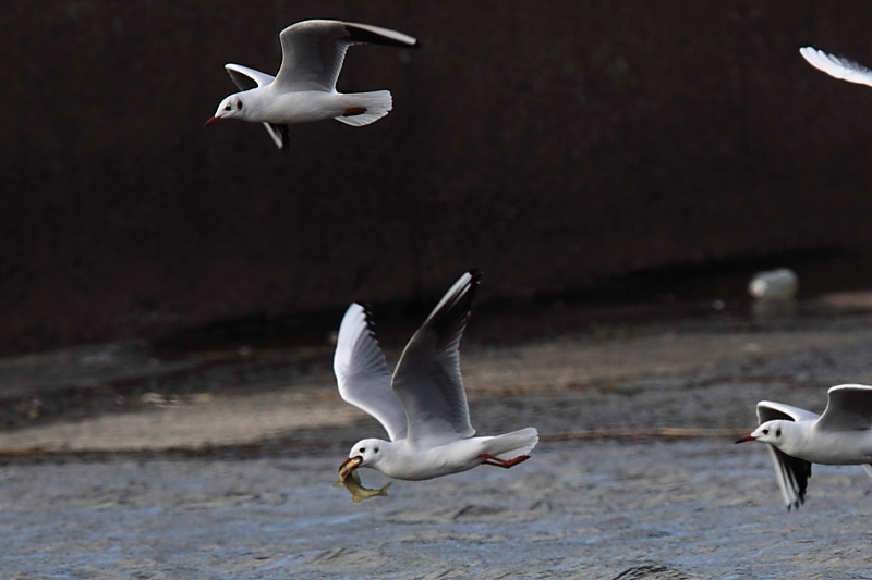 鮎漁の鳥たち_a0052080_21155766.jpg