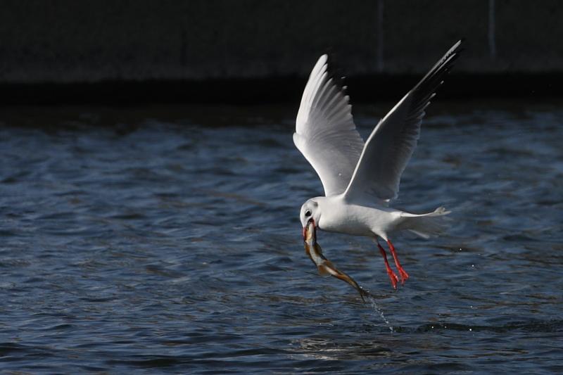 鮎漁の鳥たち_a0052080_21161219.jpg