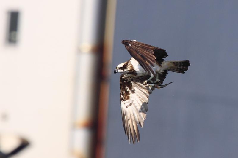 鮎漁の鳥たち_a0052080_21164660.jpg