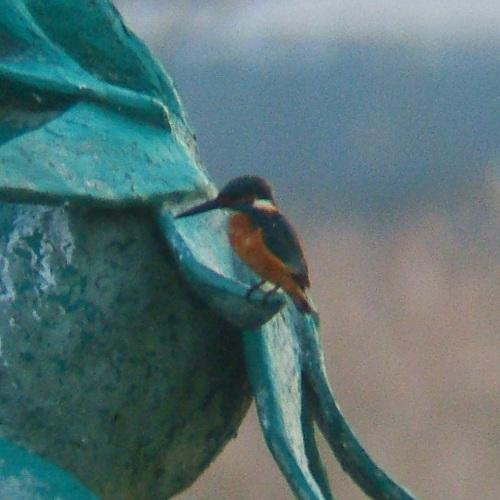 手賀沼で見た鳥 カワセミ_e0089232_20555371.jpg