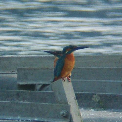 手賀沼で見た鳥 カワセミ_e0089232_20561314.jpg