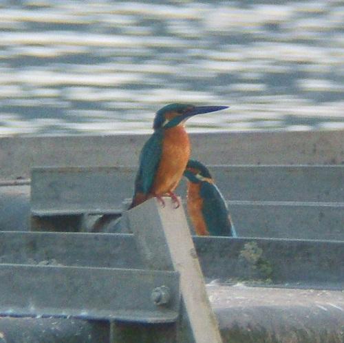 手賀沼で見た鳥 カワセミ_e0089232_2056686.jpg