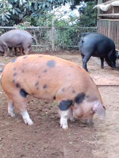 東京X豚を取材しました。_c0033210_2264811.jpg